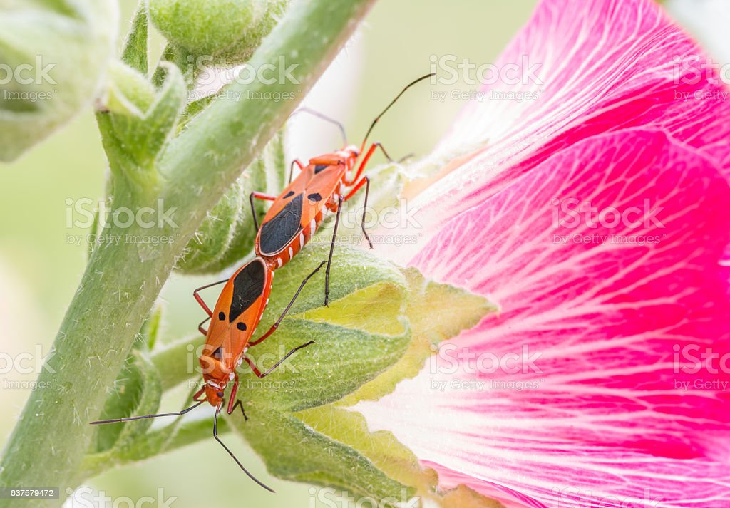 Mating of insects; red cotton bug, cotton stainer , with pink...
