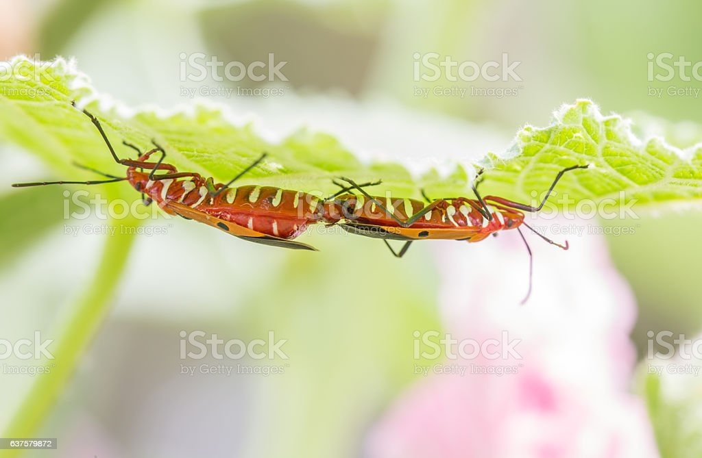 Mating of insects; red cotton bug, cotton stainer , with natural...