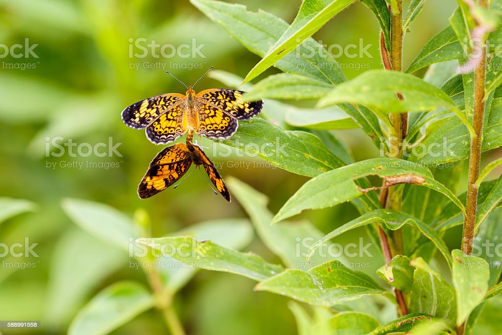 Mating Pair of Pearl Crescent Butterflies stock photo