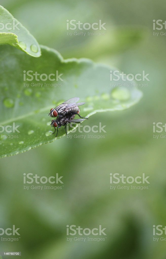 Mating Pair of Stable Flies stock photo