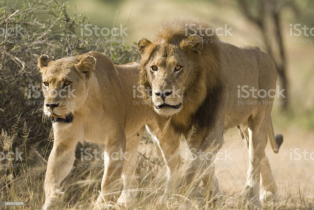 mating pair of wild lions stock photo