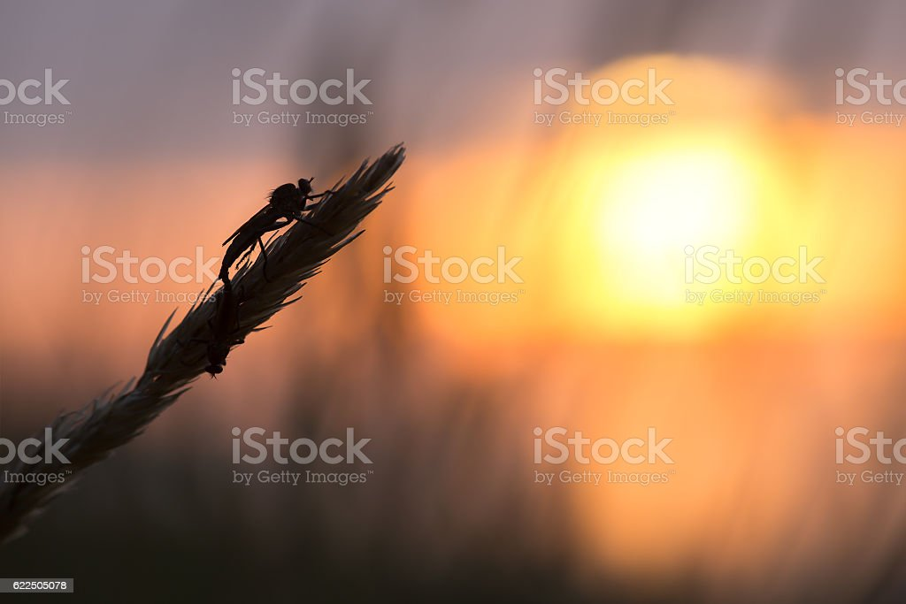 Mating robberflies on straw, setting sun in the background stock photo