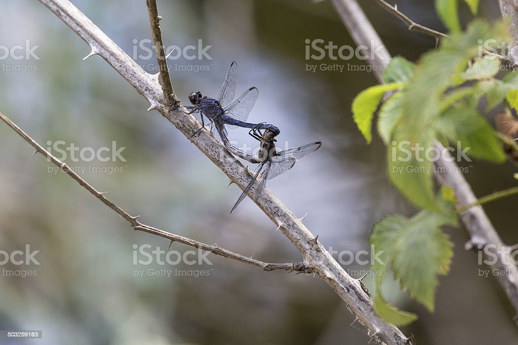 Mating Slaty Skimmer Dragonflies (Libellula Incesta) royalty-free stock photo