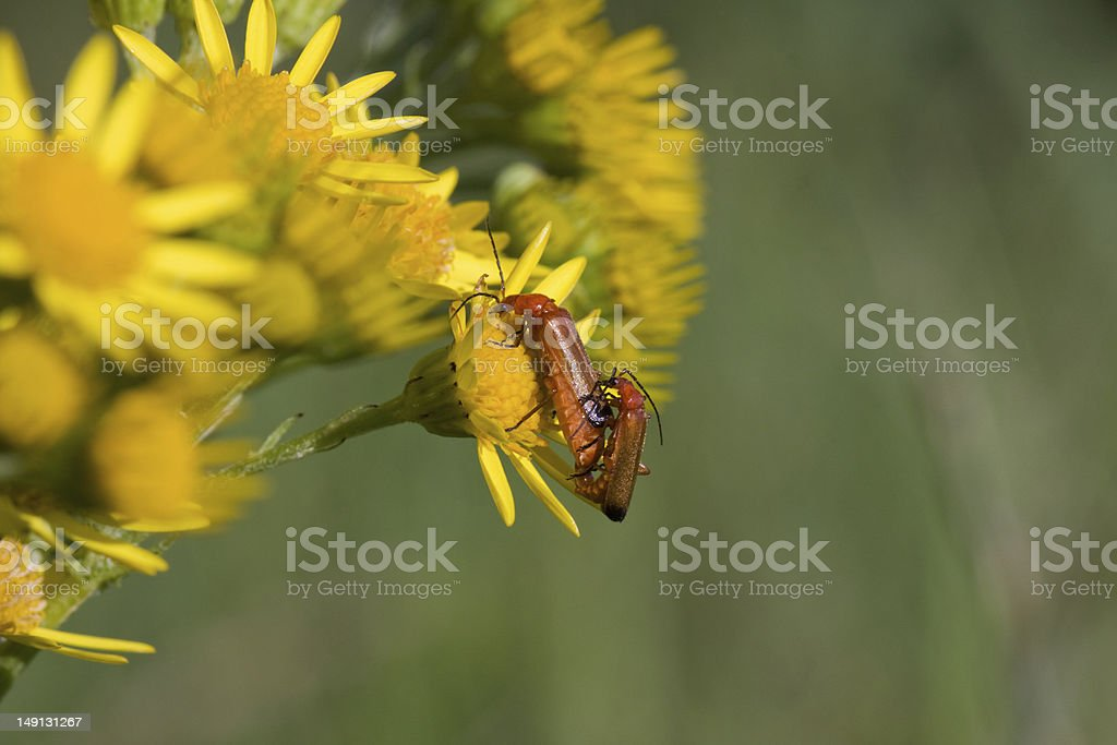 Mating Soldier beetles stock photo