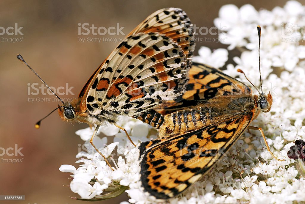 Mating Spotted Fritillary butterfly royalty-free stock photo