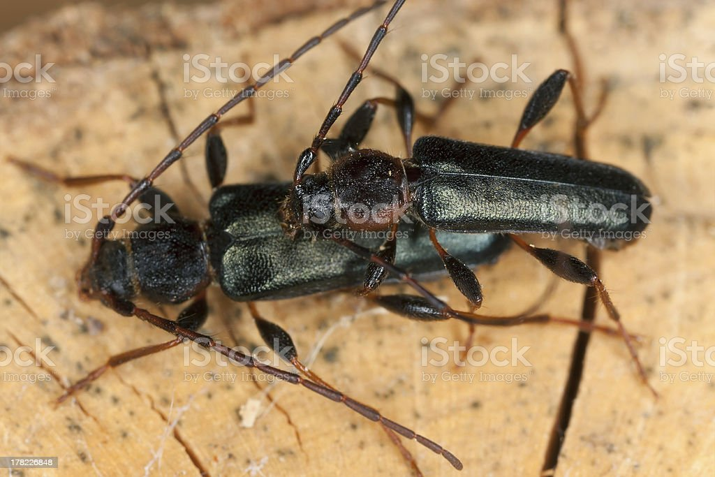 Mating tanbark borers, Thanasimus testaceus royalty-free stock photo