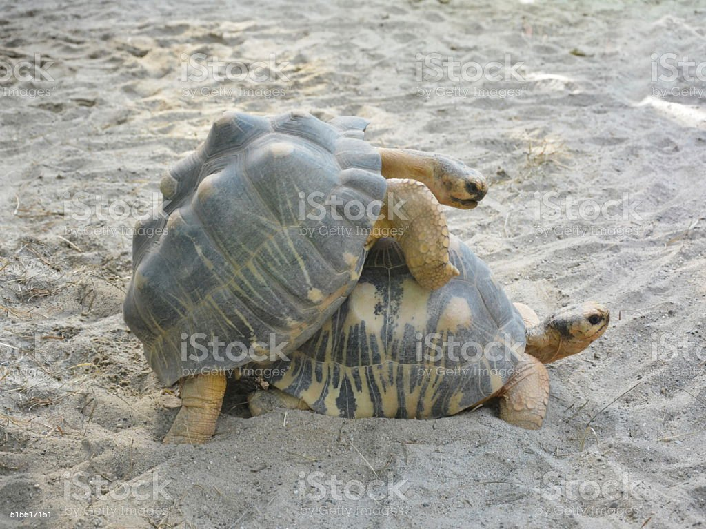 mating tortoise sex in nature stock photo