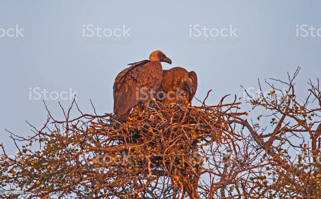 Mating Vultures 1 stock photo