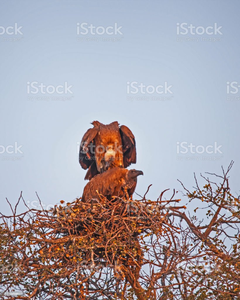 Mating Vultures 5 stock photo