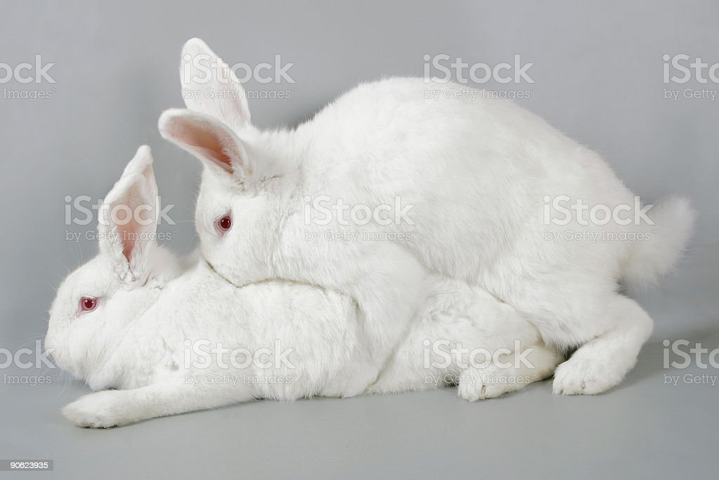 Mating white rabbits stock photo