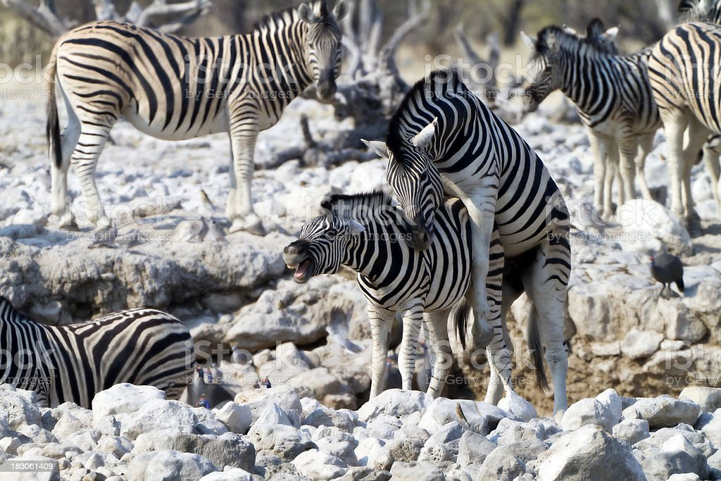 Mating Zebras, Etosha National Park, Namibia stock photo