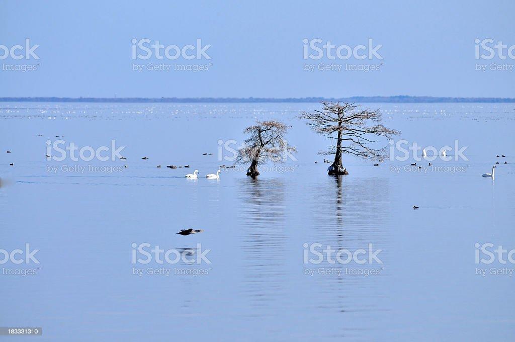 Mattamuskeet Lake Wildlife stock photo