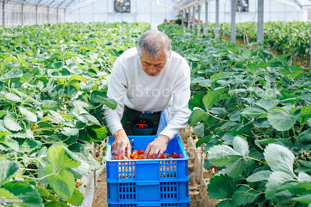 Mature adult male farmer harvesting strawberries in a greenhouse stock photo