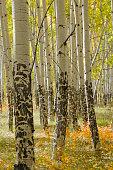 Mature Aspen Tree Trunks in Autumn