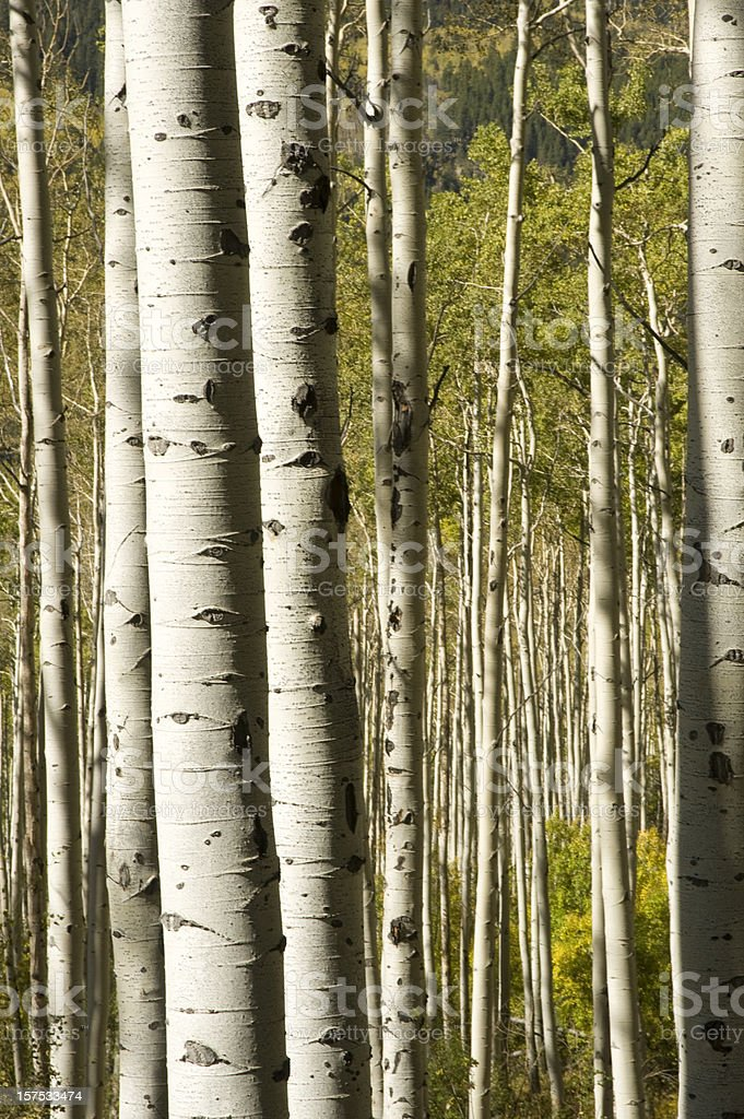 Mature Aspen Trunks in Fall royalty-free stock photo