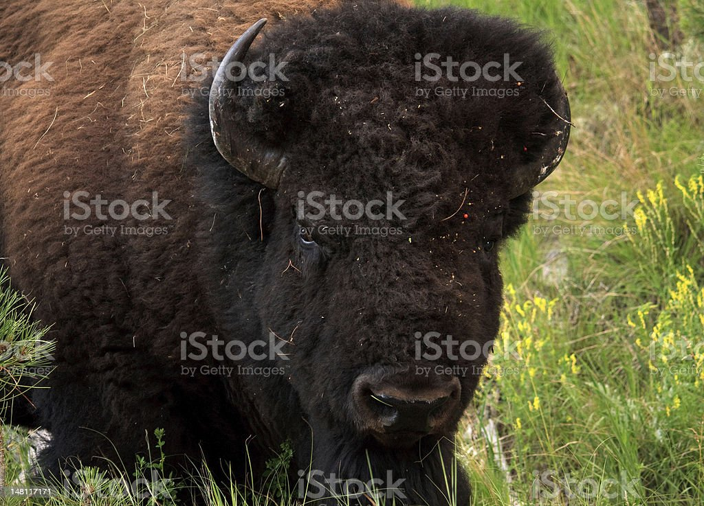 Mature bison (buffalo) on the Great Plains stock photo