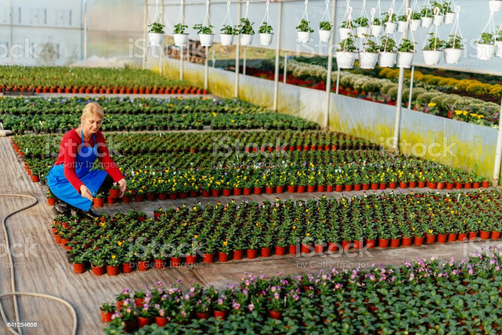 Mature blonde woman in early 50s, working in plant nursery with potted flowers stock photo