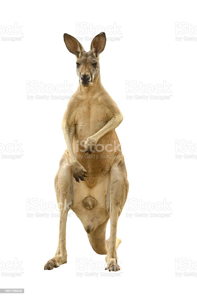 Mature brown kangaroo stood on its hind legs stock photo