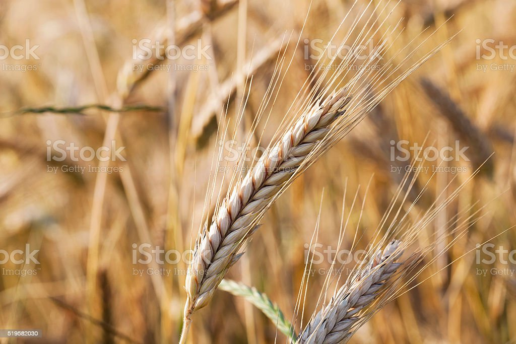 mature cereal ,  close-up stock photo