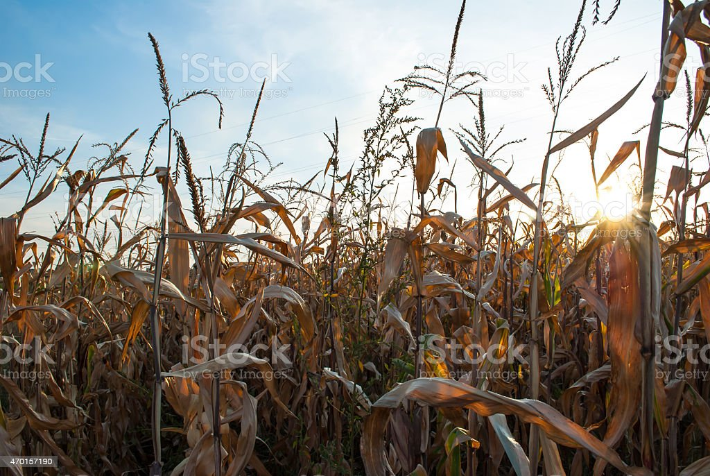 Mature corn field ready to be harvested stock photo