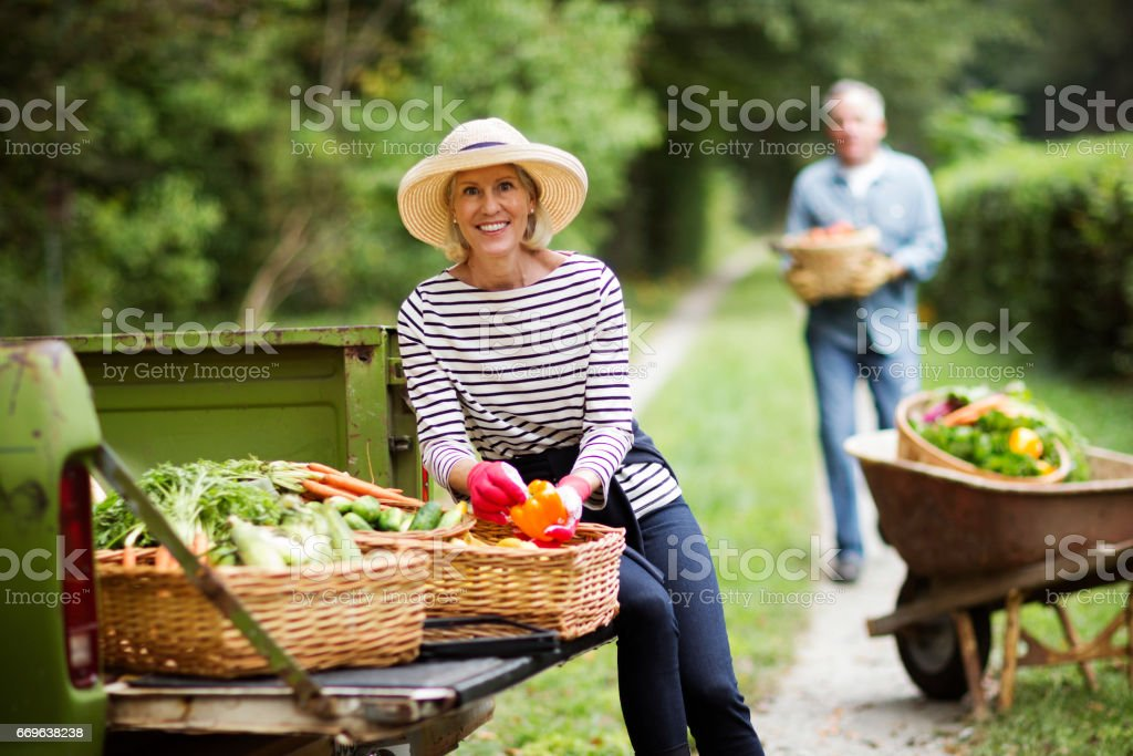 Mature Couple Harvesting Vegetables In Garden. stock photo