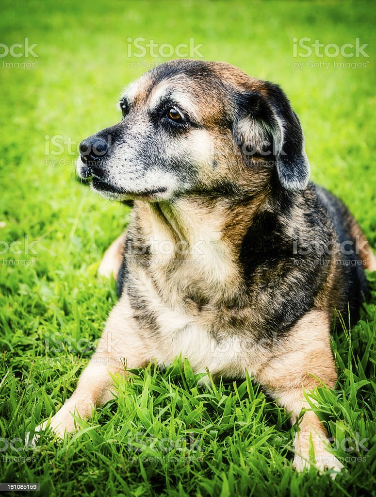 Mature Dog Resting Peacefully in Grass royalty-free stock photo