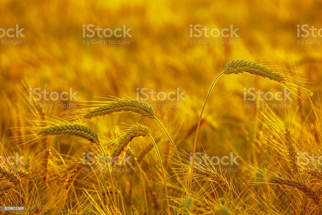 mature, dry ear of golden wheat at sunset. stock photo