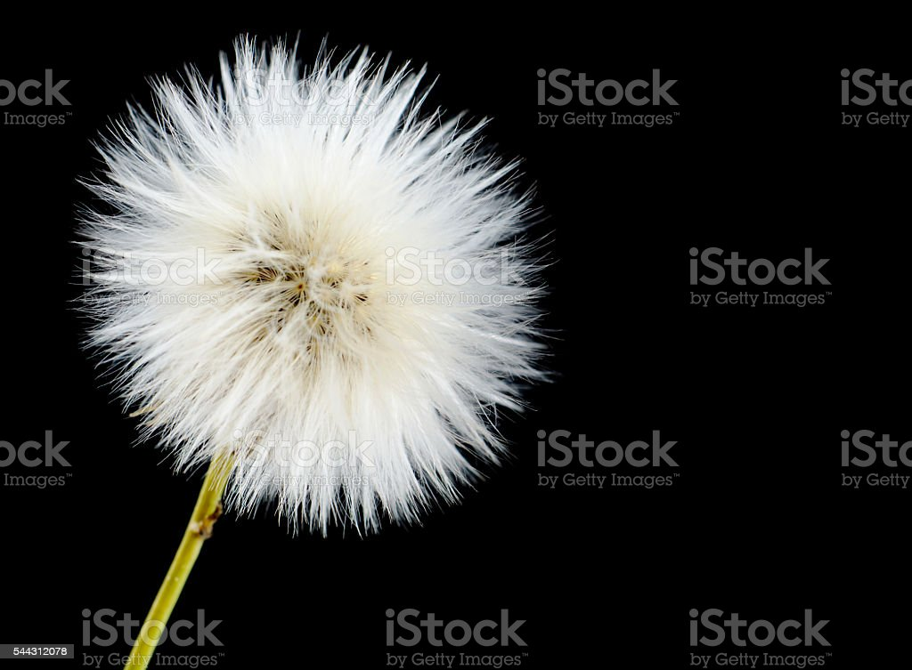 Mature efflorescing poisonous sonchus arvensis on black as dandelion stock photo