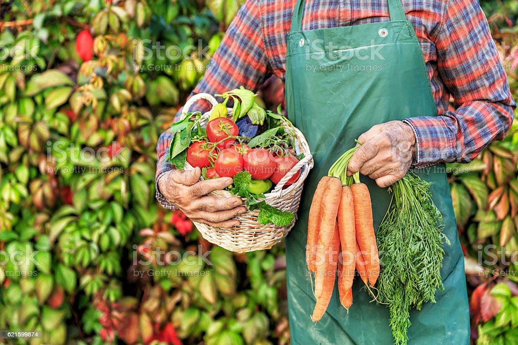 Mature farm worker carrying vegetables in basket stock photo