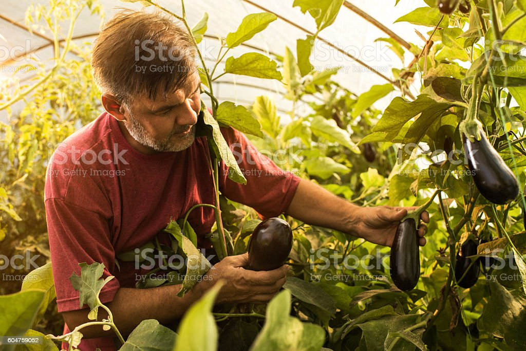 Mature farm worker picking eggplants in polyethylene tunnel. stock photo