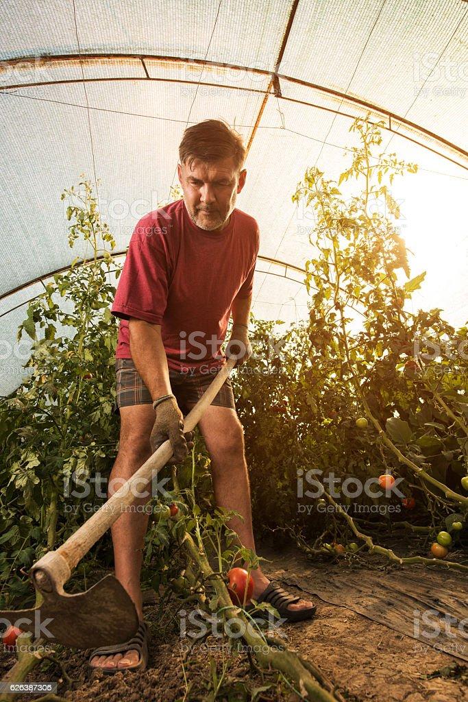 Mature farm worker using garden hoe in polyethylene tunnel. stock photo