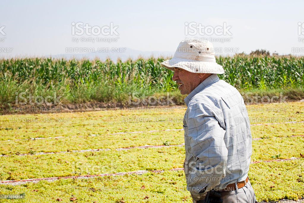 Mature farmer holding a bucket full of grapes stock photo