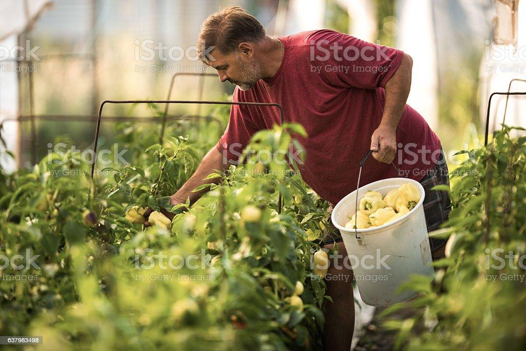 Mature farmer picking homegrown pepper in polyethylene tunnel. stock photo