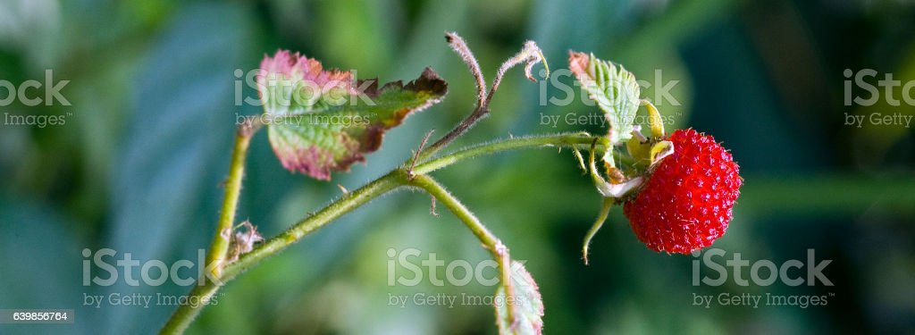 Mature fruit of the roseleaf bramble in the forest stock photo