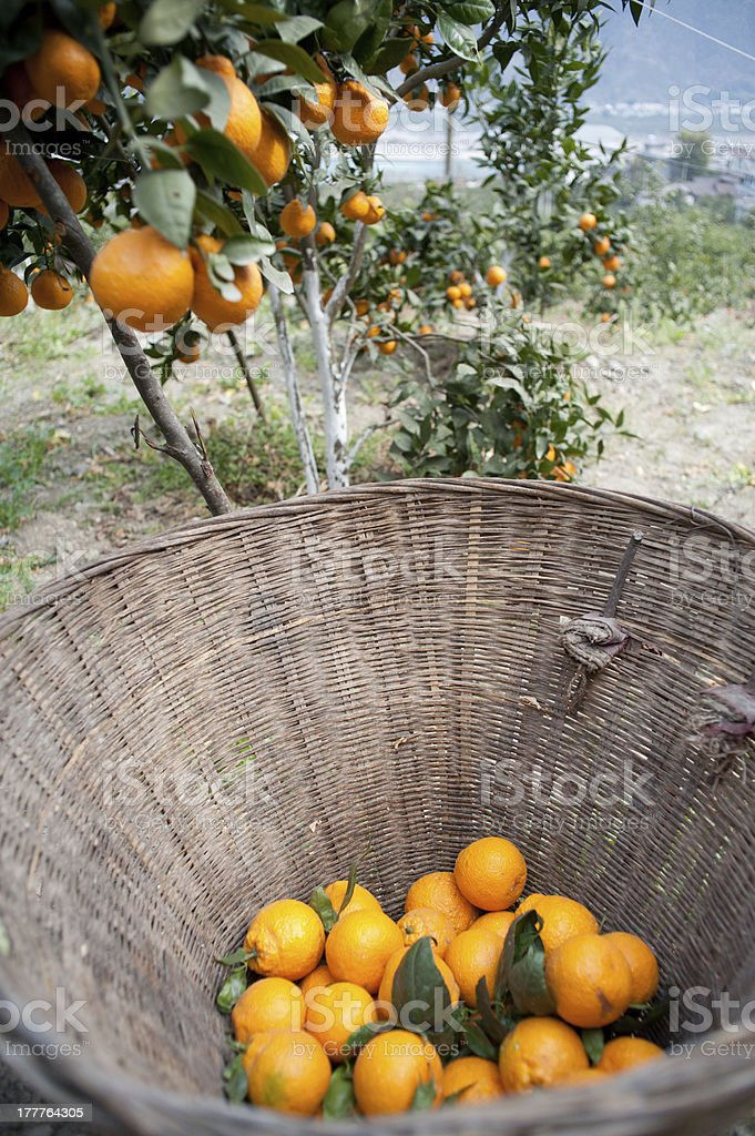 Mature fruit orchard royalty-free stock photo