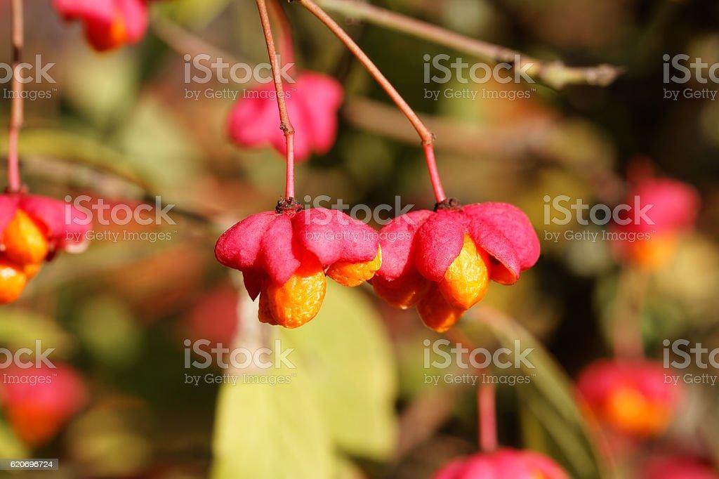 Mature Fruits of the European Spindle Tree ( Euonymus europaeus ) – Foto
