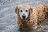 Mature Golden Retriever in Pond