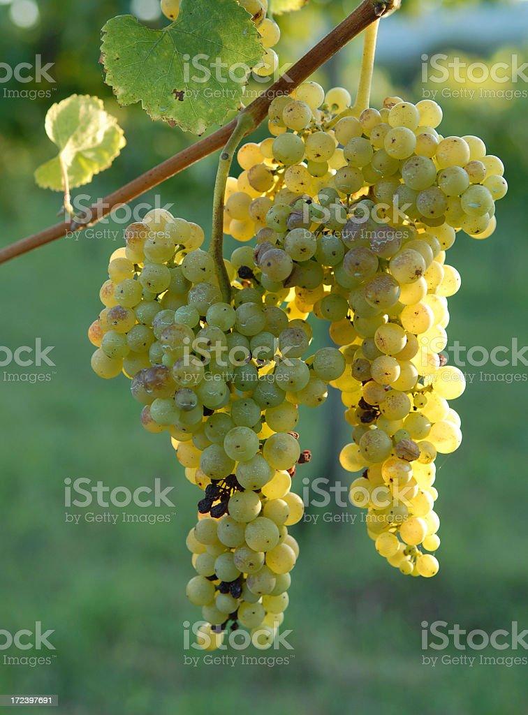 Mature grapes stock photo