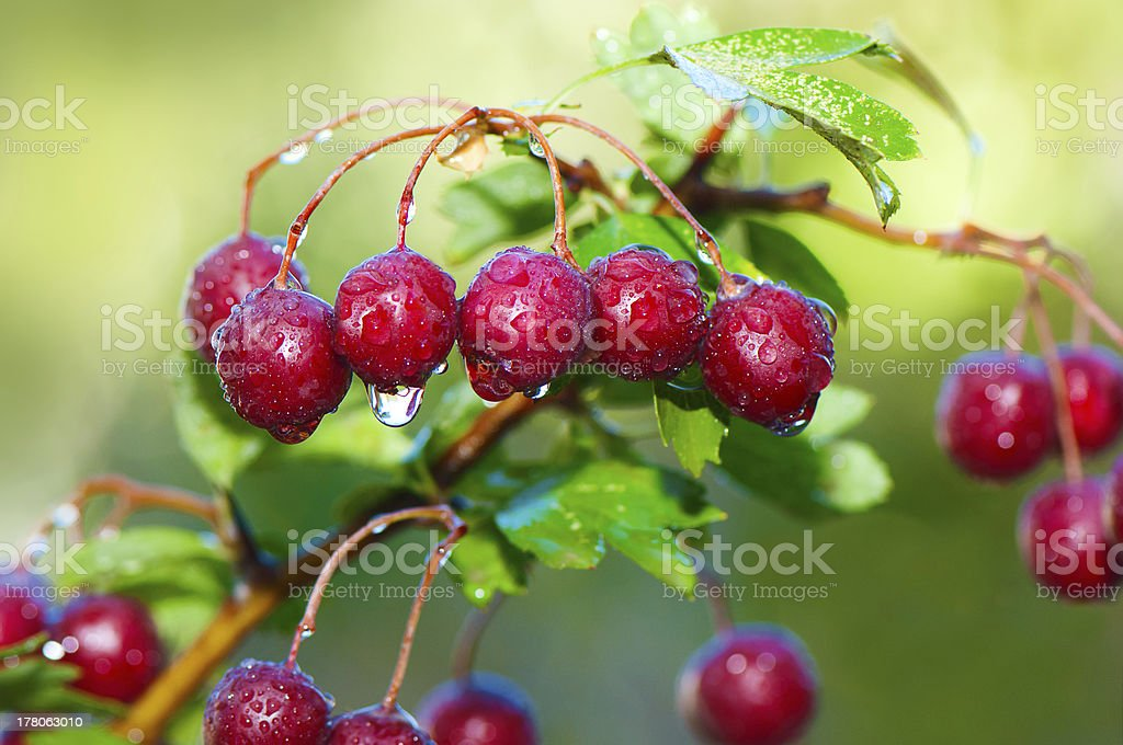 Mature hawthorn's cluster royalty-free stock photo
