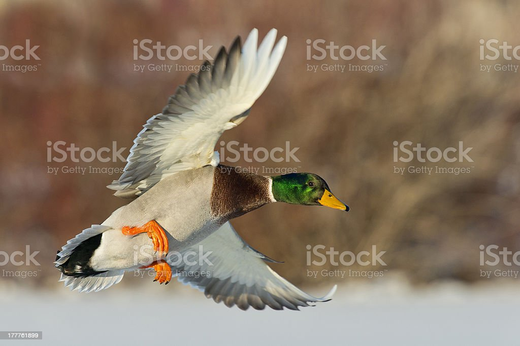 Mature mallard drake coming in for a landing stock photo