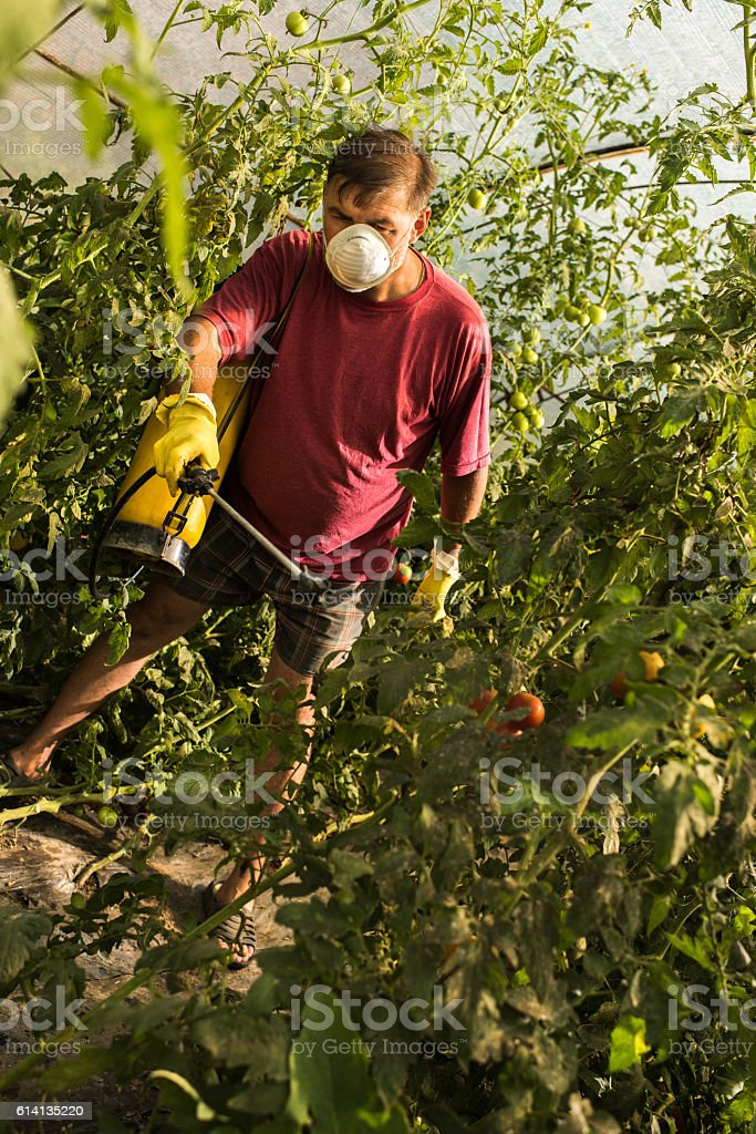 Mature man spraying tomatoes with crop sprayer in a greenhouse. stock photo
