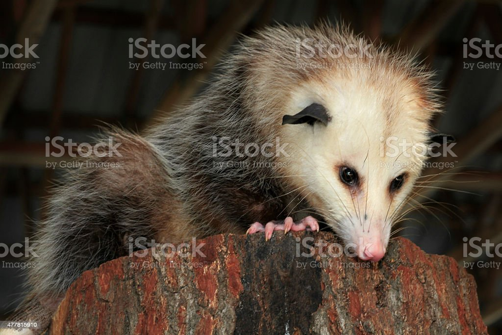 Mature Opossum Looking Down From Inside a Barn stock photo