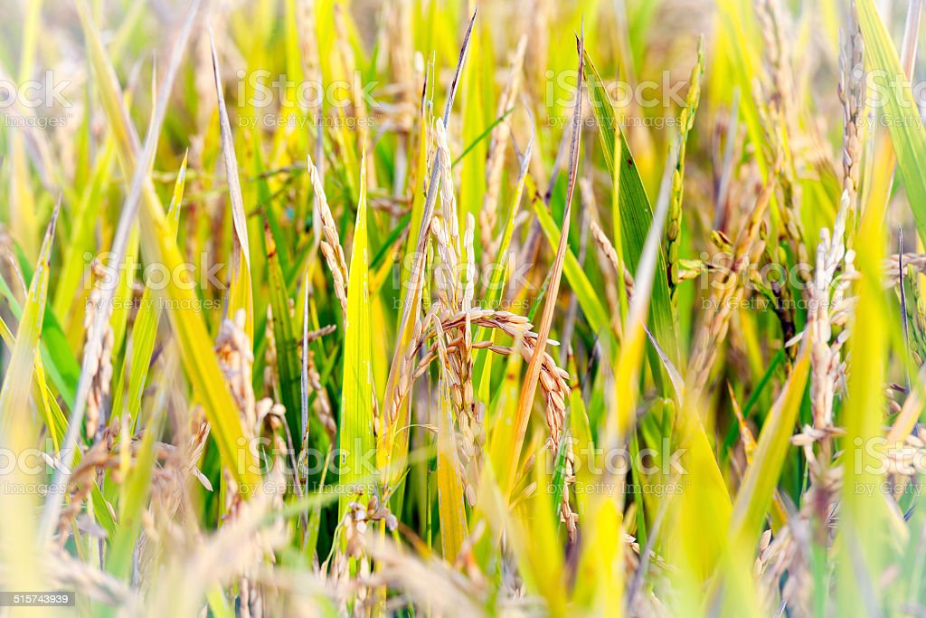 Mature paddy field. Color image stock photo