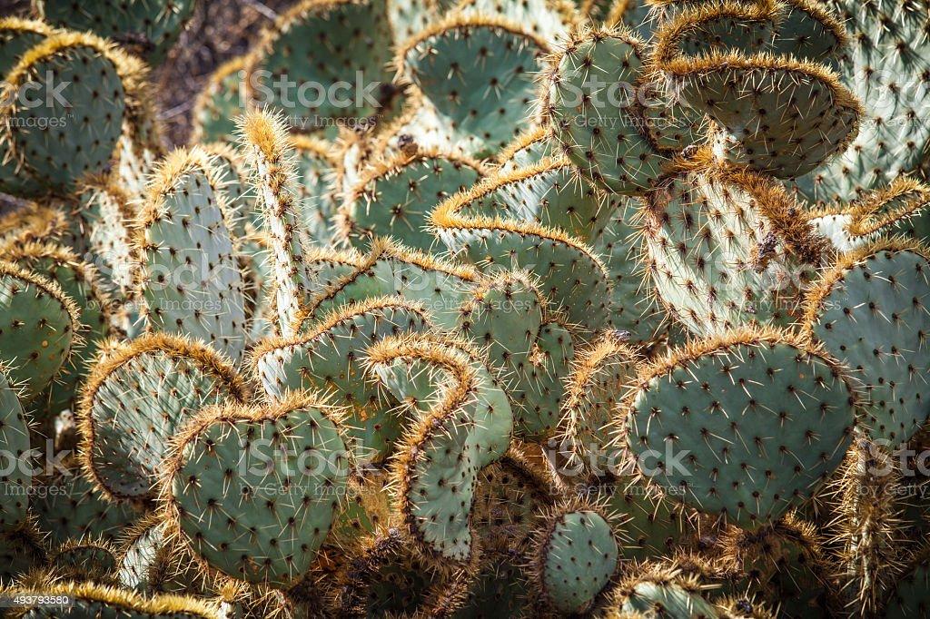 Mature Pancake Prickly Pear Cactus, Santa Monica Mountains royalty-free stock photo