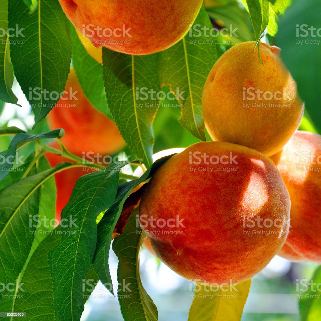 mature peaches growing among green leaves stock photo