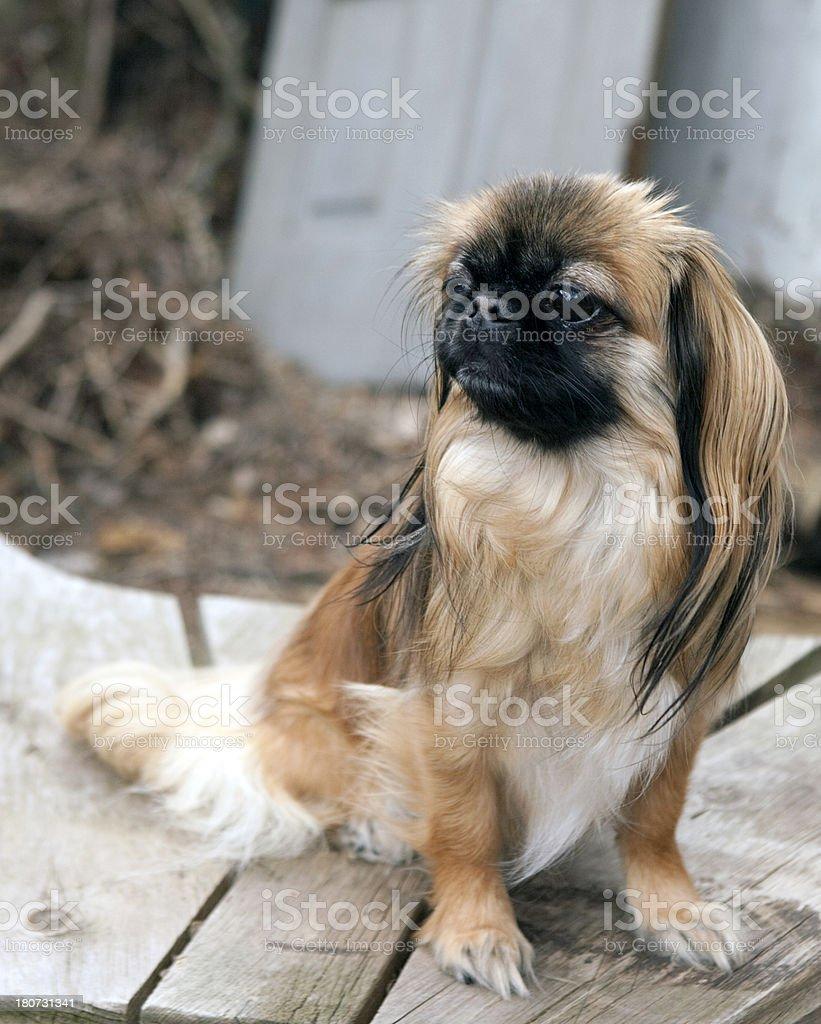 Mature Pekingese royalty-free stock photo