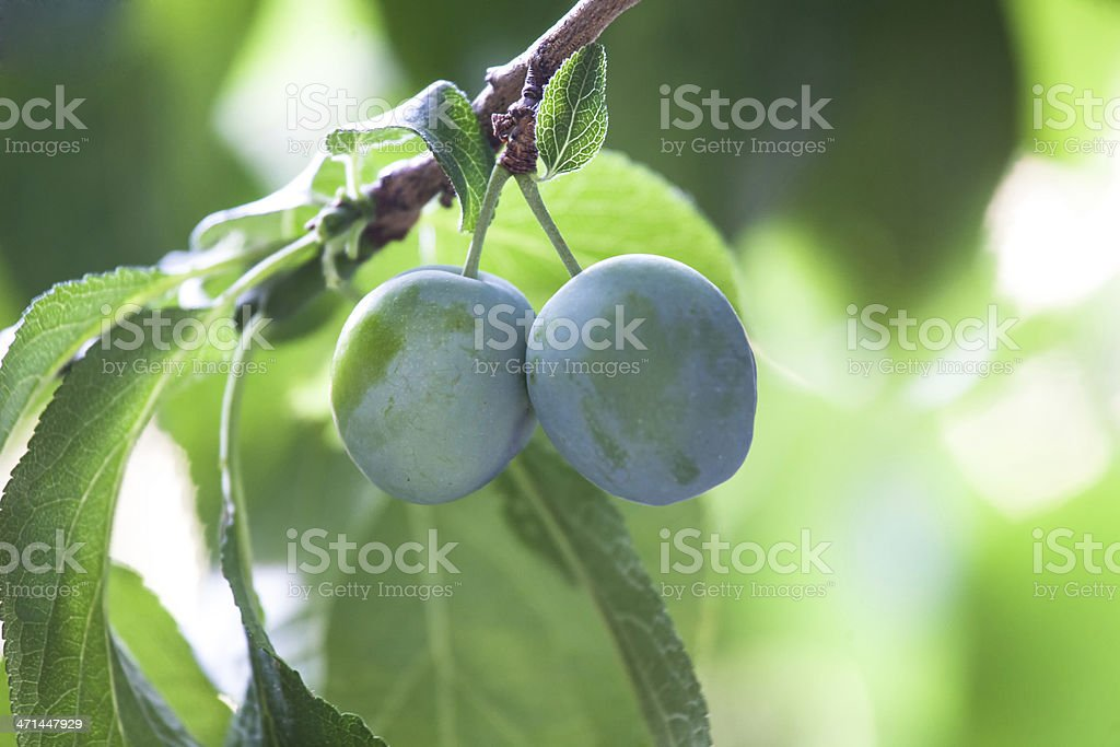 mature plums royalty-free stock photo