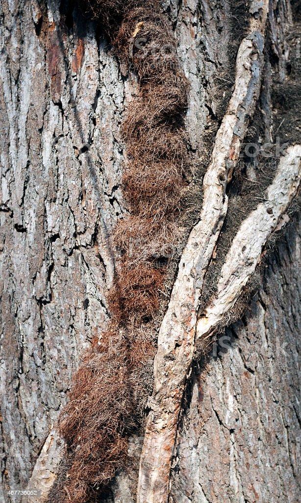 Mature Poison Ivy Vine on Tree stock photo