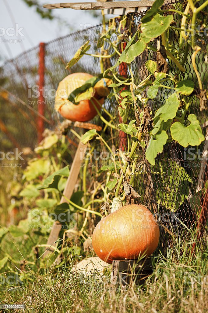 Mature pumpkins royalty-free stock photo
