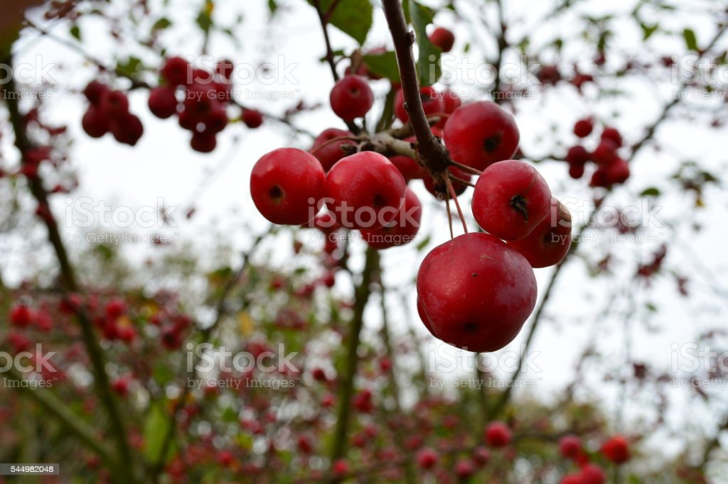Mature red Crabapples stock photo